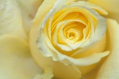 Gräns - gulingrosbakgrund Royaltyfria Bilder