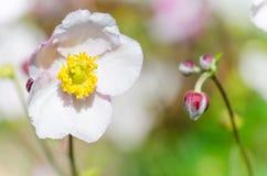 Gräns - japansk anemon för rosa färgblomma, närbild Royaltyfria Bilder