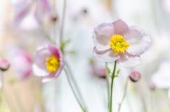 Gräns - japansk anemon för rosa färgblomma, närbild Arkivfoto