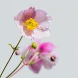 Gräns - japansk anemon för rosa färgblomma, närbild Arkivfoton