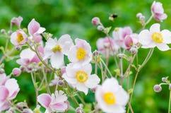 Gräns - japansk anemon för rosa färgblomma, närbild Anmärkning: Grunt djup Royaltyfria Bilder