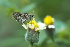 Gräns-markerad topp- fjäril på gräsblomman Royaltyfri Foto