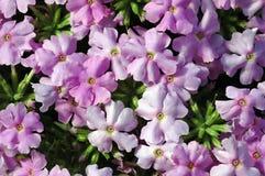 Gräns - rosa färg som skuggar Verbenablommor Arkivbilder