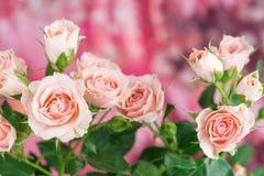 Gräns - rosa färgrosbuske på rosa bakgrund Arkivfoton