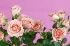 Gräns - rosa färgrosbuske på rosa bakgrund Royaltyfri Fotografi