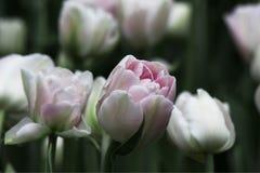 Gräns - rosa frottétulpan Foxtrot royaltyfri fotografi
