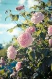 Gräns - rosa lösa rosor Royaltyfria Foton