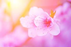 Gräns - rosa persikablomning på en bakgrund av den ljusa solen Fotografering för Bildbyråer