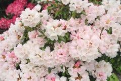 gräns - rosa rhododrendron Royaltyfri Foto