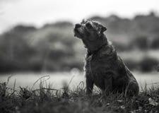 Gräns Terrier fotografering för bildbyråer