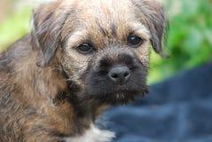 Gräns Terrier Royaltyfri Foto