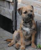 Gräns Terrier Royaltyfri Bild