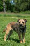 Gräns Terrier Royaltyfri Fotografi