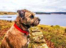 Gräns Terrier som förbiser en sjö i Digital oljor Royaltyfria Foton