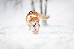 Gränsa collien förföljer spring för att fånga en toy i vinter Arkivfoto