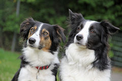Gränsa collies Royaltyfri Foto