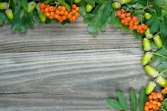 Gränsen av den gröna eken lämnar ekollonar och scharlakansröda grupper av rönnen royaltyfri bild