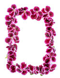 Gränsen av den purpurfärgade pelargonblomman för blommande sammet isoleras på Arkivfoton