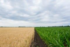 Gränsfälten med att mogna kornskörden, råg, vete eller korn, fälten gör grön med växande havre royaltyfri fotografi