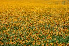 Gränslöst gult fält av solrosor Royaltyfria Bilder