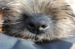 GränsTerrier näsa royaltyfria foton