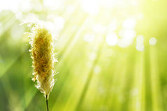 Gräs örat i strålen av solljus, sommarbackgdound Royaltyfri Foto