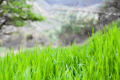 Gräs bakgrund, gräsplan, natur, vår, gräsmatta, sommar, tillväxt, morgon Royaltyfri Fotografi