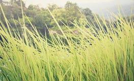 Gräs blåst av vind i aftonen, mjuk fokus Royaltyfri Foto