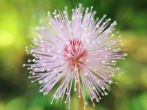 Gräs blomman Royaltyfri Fotografi