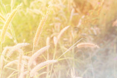 Gräs blomman Arkivfoto