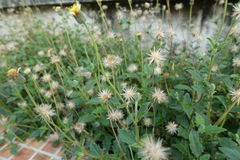 Gräs blomman Royaltyfria Bilder