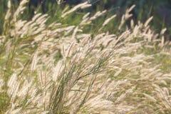 Gräs blomman i fält i solsken för abstrakt bakgrund Royaltyfria Bilder