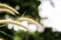 Gräs blomman på solnedgången med berglandskapbakgrund i den gröna naturen, solljus för inverkan för gulingblommagräs royaltyfria bilder
