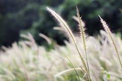 Gräs blomman på solnedgången med berglandskapbakgrund i den gröna naturen, solljus för inverkan för gulingblommagräs arkivfoton