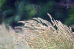 Gräs blommar i vinden Fotografering för Bildbyråer