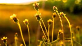Gräs blommar tillbaka i aftonsolen arkivbild