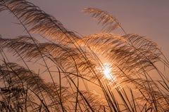 Gräs blommar under solnedgång med lågt ljus mot solen Fotografering för Bildbyråer