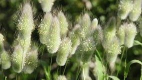 Gräs broddar rört vid vinden arkivfilmer