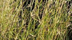 Gräs broddar rört vid vinden stock video