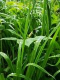 Gräs efter regnar arkivbilder
