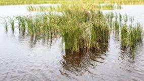 Gräs eller halmtäckte i sjön eller dammet eller översvämmar vatten Royaltyfri Foto