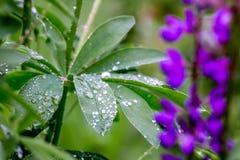 Gräs- fält med det purpurfärgade Lupinesdockaskottet royaltyfri foto
