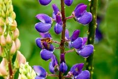 Gräs- fält med det purpurfärgade Lupinesdockaskottet royaltyfri fotografi
