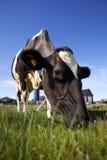 Gräs för äta för mejerikor utvändigt under sommar Royaltyfri Bild