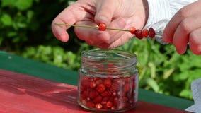 Gräs för böjelse för jordgubbe för skog för pärla för manhandskjorta rött löst arkivfilmer