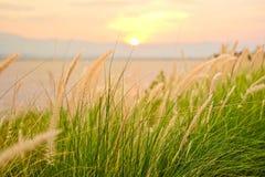 Gräs för foxtailen för springbrunngräs, träskeller dvärg- springbrunngräs blommar i trädgården bredvid Phayao sjön med solljus av royaltyfri bild