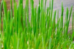Gräs för katt och hund Arkivbilder