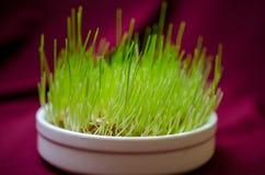 Gräs för kattcloseup Fotografering för Bildbyråer