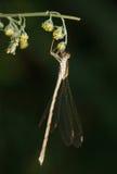 Gräs för ogräs för Damselflykrokar upp till Arkivfoto