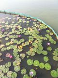 Gräs för ogräs för Lotus vattensjö arkivfoto